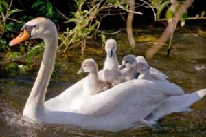 Royal Swans