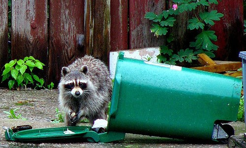 Raccoon in Green Bin - © 2014 LexnGar